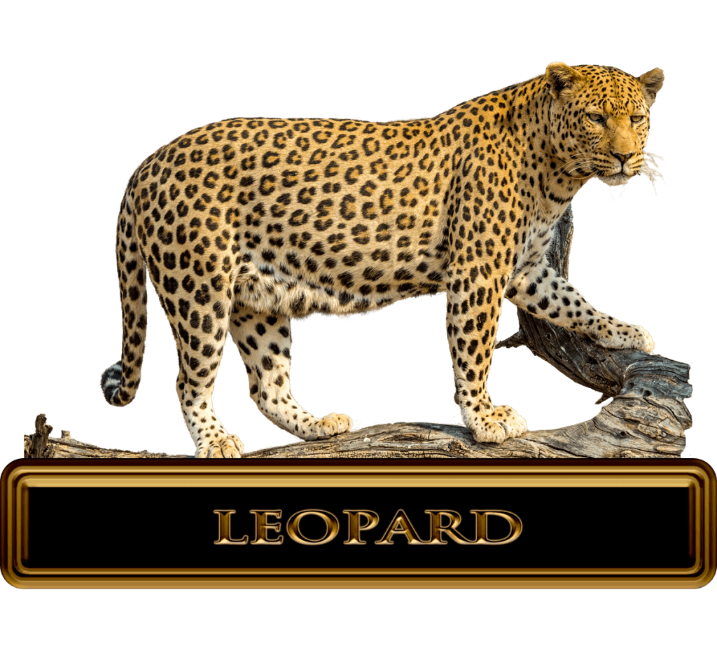 Giant Male African Leopard
