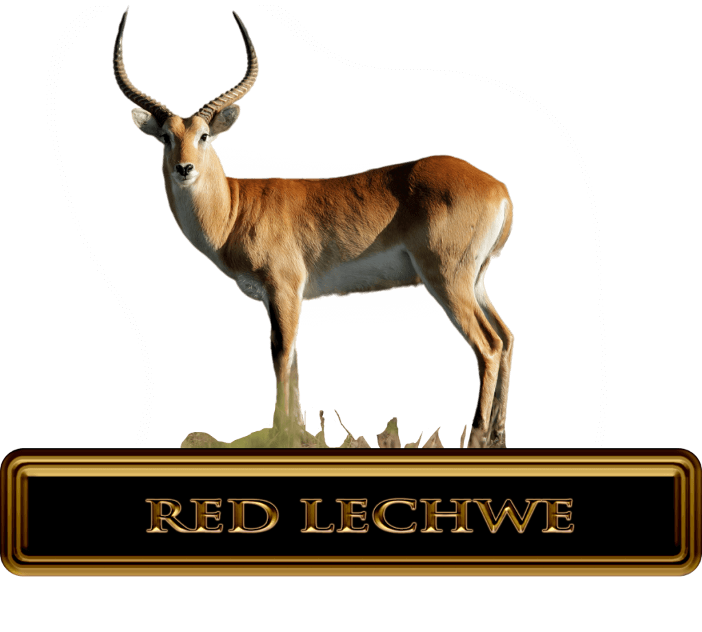 beautiful red lechwe in Africa