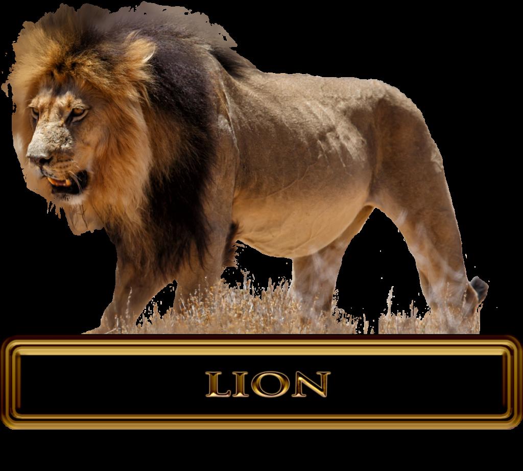 Massive African Lion