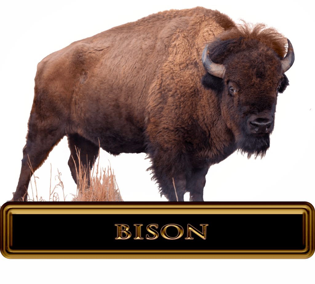 Giant Bull Bison in open terrain during a buffalo hunt.