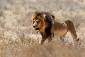 Massive African Lion in Africa Terrain during Lion Hunt.