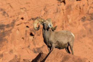 Big Horn Sheep hunts