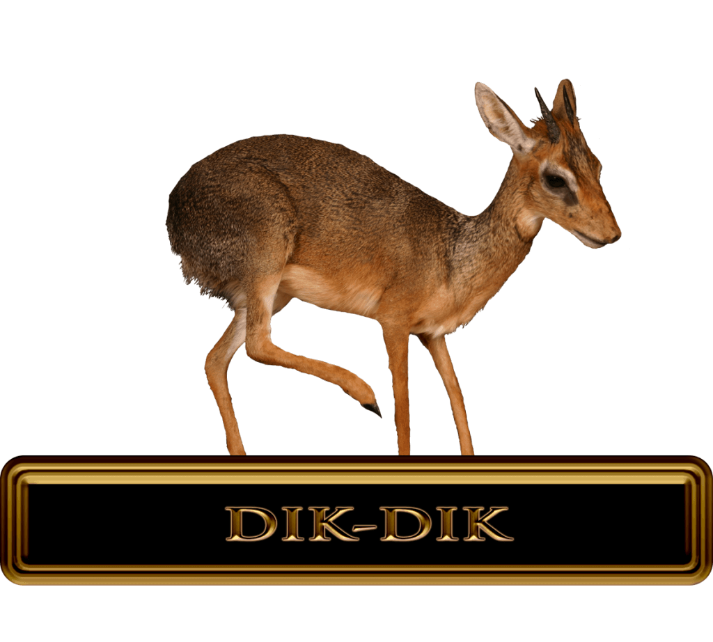 Trophy Dik-dik Hunt in Africa.