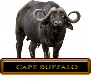 Cape Buffalo Hunts