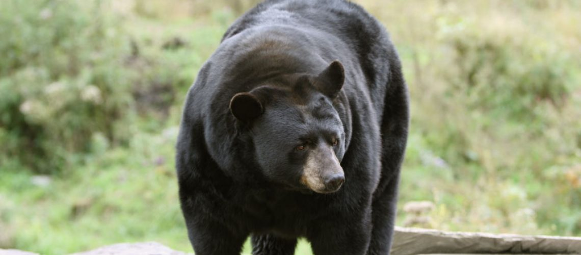 Hunting-black-bear
