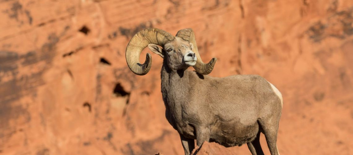 World-Class-Desert-Bighorn-Sheep